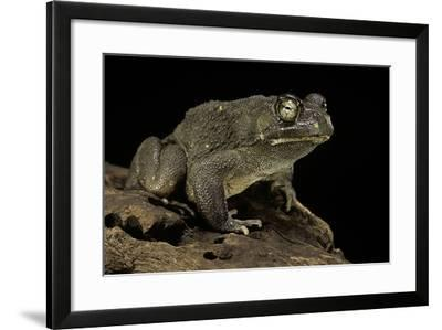 Amietophrynus Regularis (African Toad, Egyptian Toad)-Paul Starosta-Framed Photographic Print