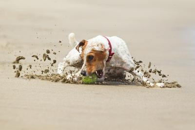 JACK RUSSELL TERRIER STOPPING ON THE Ball, HIGH SPEED ACTION SHOT