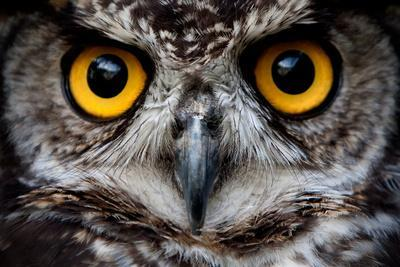 OWLS ARE THE ORDER Strigiformes, CONSTITUTING 200 EXTANT BIRD OF PREY SPECIES MOST ARE SOLITARY AND