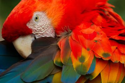 THE SCARLET MACAW IS A Large, COLORFUL MACAW IT IS NATIVE TO HUMID EVERGREEN FORESTS IN THE AMERICA