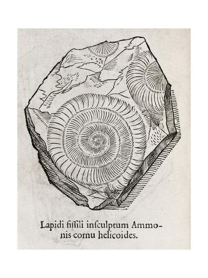 Ammonite Fossil, 16th Century-Middle Temple Library-Giclee Print