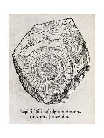 https://imgc.artprintimages.com/img/print/ammonite-fossil-16th-century_u-l-pk0k870.jpg?p=0
