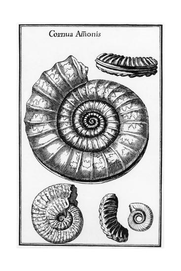 Ammonites--Giclee Print