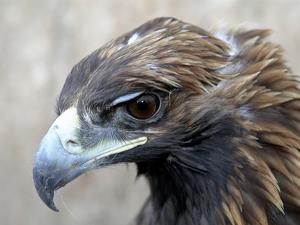 Female Golden Eagle, Golden Eagle Festival, Mongolia by Amos Nachoum