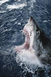 Head of Great White Shark by Amos Nachoum