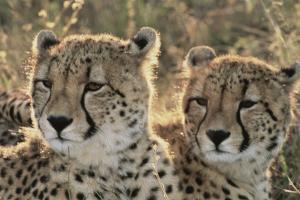 South Africa, Close-Up of Cheetahs by Amos Nachoum