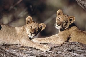 South Africa, Lion Cubs by Amos Nachoum