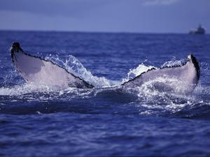 Whale Tail, Alaska, USA by Amos Nachoum