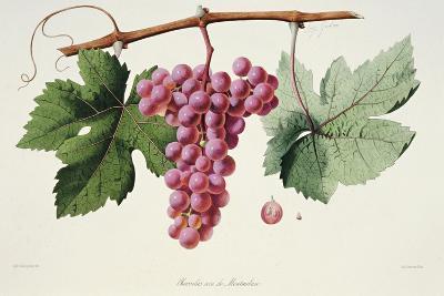 Ampelography, Grape Chasselas Rose De Montauban Auvergne--Giclee Print