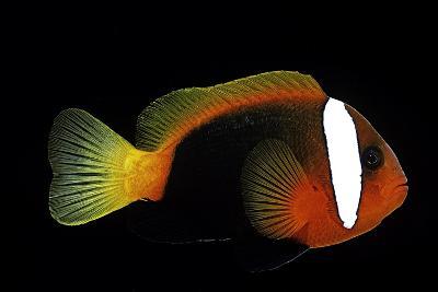 Amphiprion Melanopus (Fire Clownfish, Black Anemonefish, Red and Black Anemonefish, Cinnamon Clownf-Paul Starosta-Photographic Print