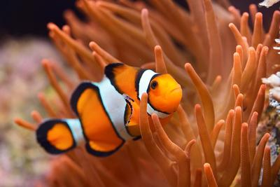 https://imgc.artprintimages.com/img/print/amphiprion-ocellaris-clownfish-in-marine-aquarium_u-l-q1a25re0.jpg?p=0