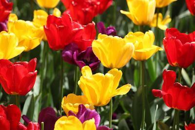 Amsterdam Tulips.-oscarcwilliams-Photographic Print