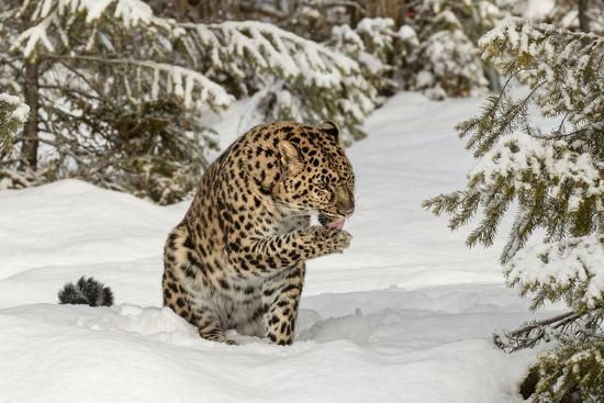Amur Leopard in winter.-Adam Jones-Premium Photographic Print