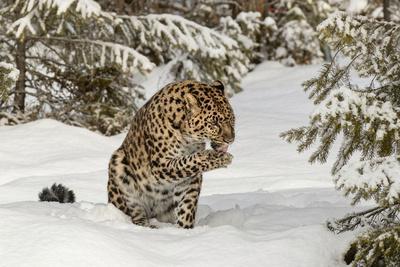 https://imgc.artprintimages.com/img/print/amur-leopard-in-winter_u-l-q1cz3850.jpg?p=0