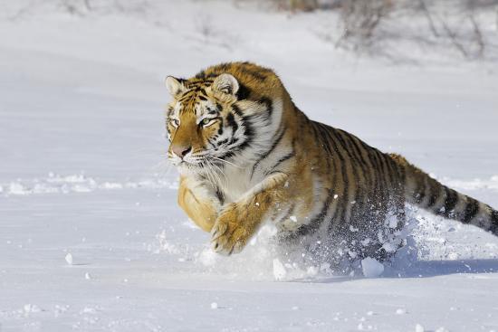 Amur Tiger in Winter Snow--Photographic Print