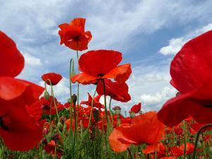 A Field of Red Poppies in Bloom under a Cloud-Filled Sky by Amy & Al White & Petteway