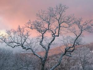 A Pink Dawn and Frosty Trees in the Blue Ridge Mountains by Amy & Al White & Petteway