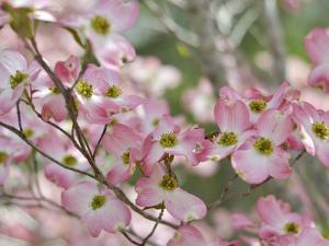 A Profusion of Pink Dogwood Blossoms by Amy & Al White & Petteway