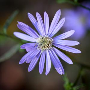 Closeup of an Aster Flower by Amy & Al White & Petteway
