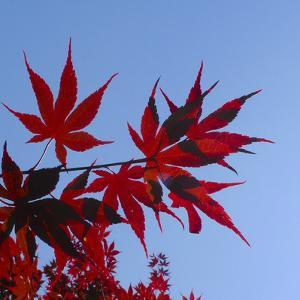 Japanese Maple Leaves, Acer Palmatum, Against a Blue Sky by Amy & Al White & Petteway
