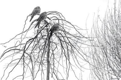 Mourning Doves Perch on the Branches of a Small Tree That Is Covered in Rime Ice by Amy & Al White & Petteway