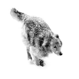 Portrait of a Dog Running Through a Snow Storm by Amy & Al White & Petteway