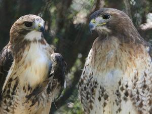 Portrait of a Pair of Red-Tailed Hawks, Buteo Jamaicensis by Amy & Al White & Petteway