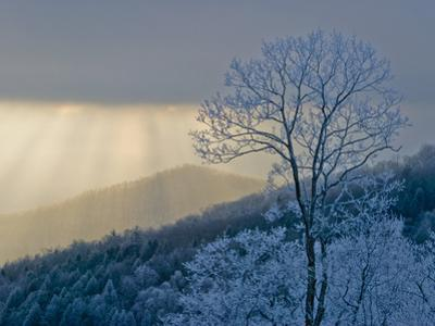Rime Ice on Trees with Blue Shadows; Sunlight Streaming Through Clouds by Amy & Al White & Petteway