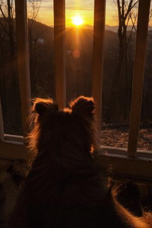 A Mixed Breed Collie Dog Looks Through a Porch Railing at the Setting Sun by Amy and Al White and Petteway