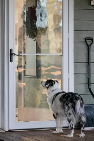 A Pet Double Merle Australian Shepherd Dog Waits at a Door to Be Let In