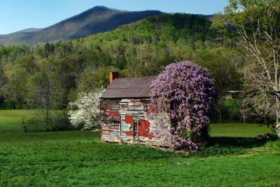 An Old Derelict House Covered in Wisteria Vines
