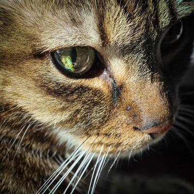 Close Up of the Eye and Face of a Pet Tabby Cat, in Sunlight Through a Window