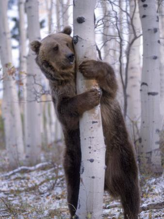 Grizzly Bear Grabbing Tree, North America