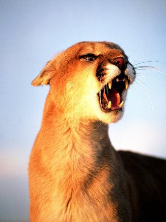 Mountain Lion with Mouth Open, Southwest US