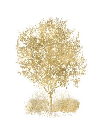 Olive Tree Golden White