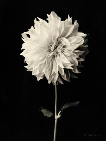 Botanical Elegance Dahlia by Amy Melious