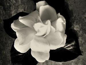 Gardenia Bloom by Amy Melious