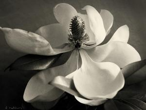Magnolia Bloom by Amy Melious