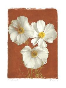 White Cosmos I by Amy Melious