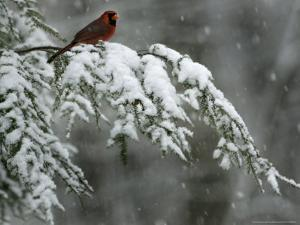 A Male Northern Cardinal Sits on a Pine Branch in Bainbridge Township, Ohio, January 24, 2007 by Amy Sancetta