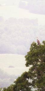 A great blue heron rests on a tree overlooking a pastoral mountain valley. by Amy White