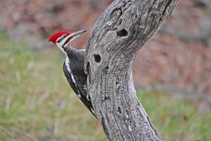 A male pileated woodpecker clings to the curve of a dead locust tree. by Amy White