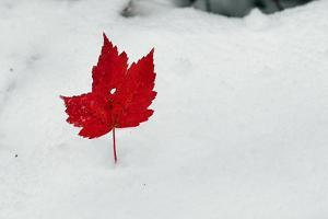 A Red Maple Leaf Sticks Out of Newly Fallen Snow after a Rare October Snow Storm by Amy White Al Petteway