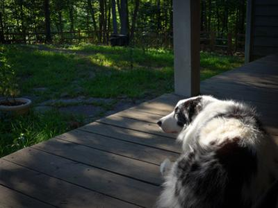 An Australian Shepherd Dog Sleeping on a Front Porch by Amy White and Al Petteway