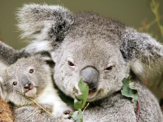 An 8-Month-Old Koala Joey--Photographic Print