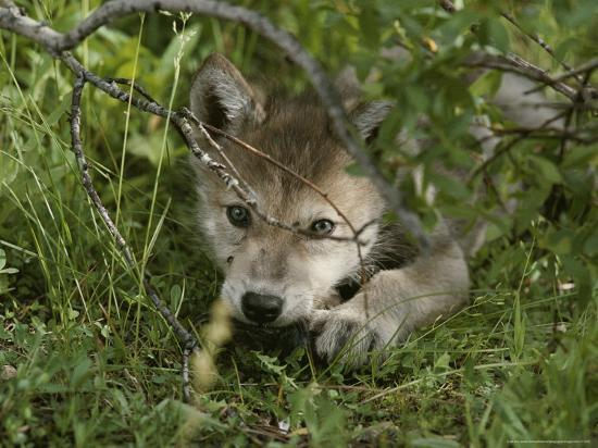 An 8-Week-Old Gray Wolf Pup, Canis Lupus, Peers From a Hiding Spot-Jim And Jamie Dutcher-Photographic Print