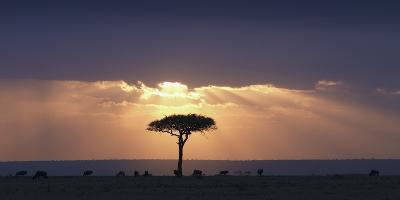 An Acacia Tree and Wildebeest under a Sunset; Kenya, Africa-Design Pics Inc-Photographic Print