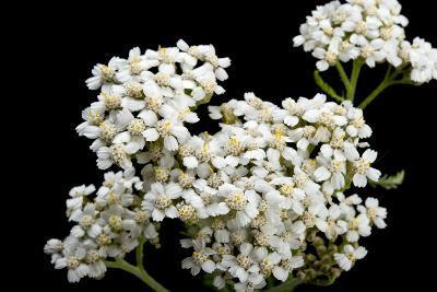 An Achillea Flower, Achillea Millefolium, known as the Common Yarrow-Joel Sartore-Photographic Print