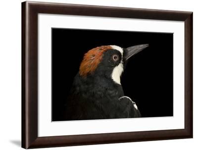 An Acorn Woodpecker, Melanerpes Formicivorus.-Joel Sartore-Framed Photographic Print