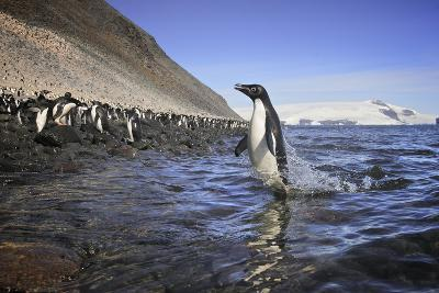 An Adelie Penguin Emerges from the Ocean-Jim Richardson-Photographic Print